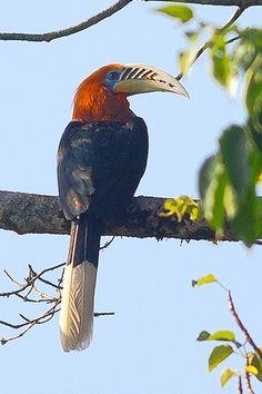 Helmeted Hornbill (Rhinoplax vigil) outside the nest hole..