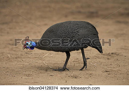 Stock Photo of Helmeted Guineafowl (Numida meleagris), adult.