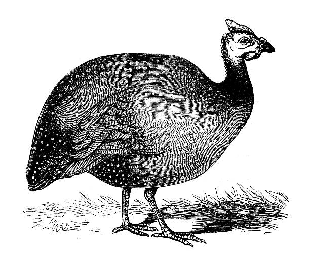 Drawing Of The Guinea Fowl Clip Art, Vector Images & Illustrations.