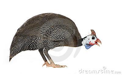 Helmeted Guinea Fowl.