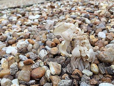 White Or Elfin Saddle Fungus In Autumn Royalty Free Stock Image.