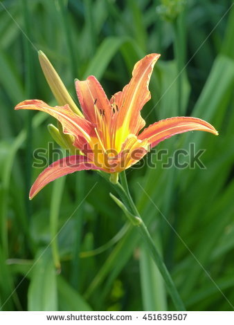 Fulva daylily Stock Photos, Images, & Pictures.