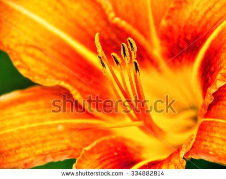 Hemerocallidoideae Stock Photos, Images, & Pictures.