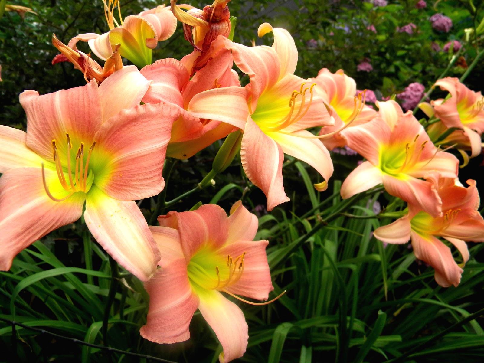 Daylilies Clip Art.
