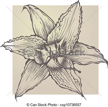 Clipart Vector of Flower blooming Hemerocallis csp10736557.