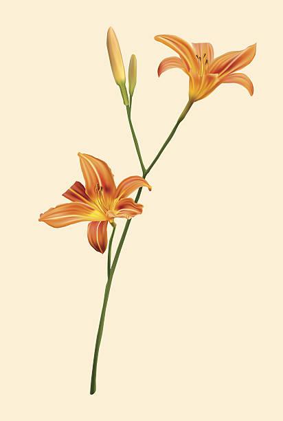 Hemerocallis Clip Art, Vector Images & Illustrations.