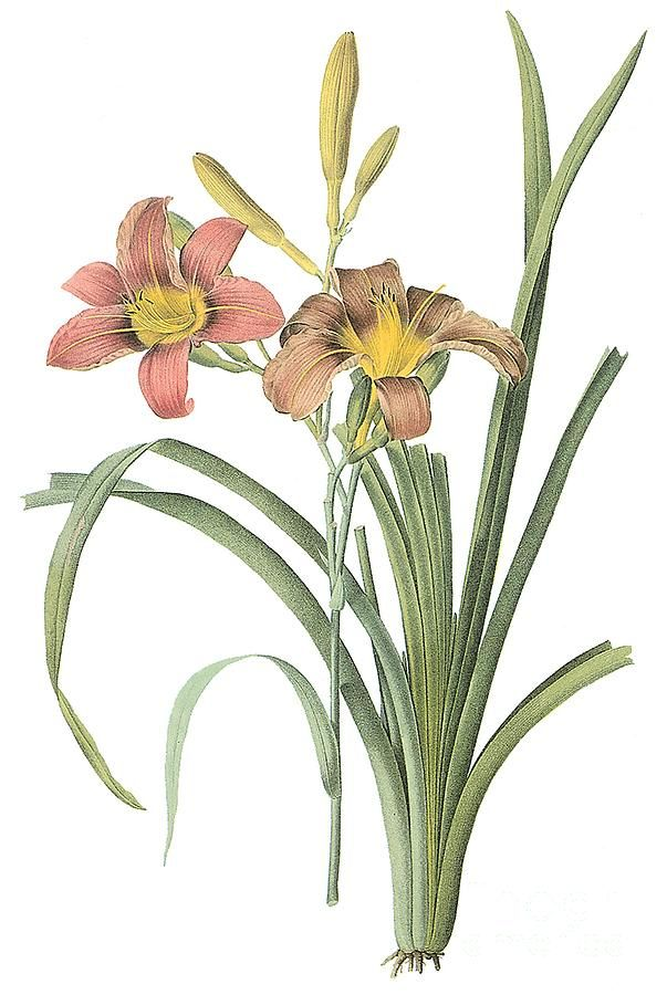 1000+ images about Daylilies on Pinterest.