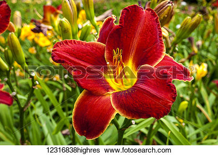 Stock Images of Daylily (Hemerocallis); Sutton, Quebec, Canada.