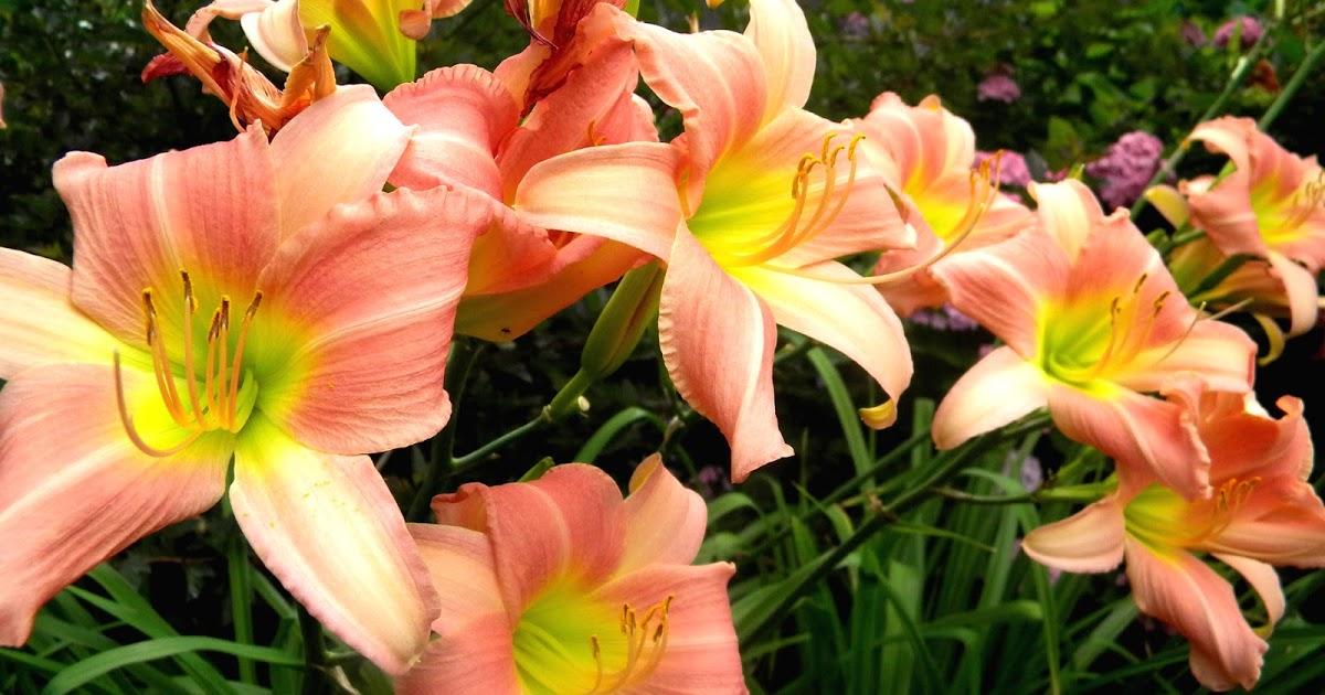 Clipart Design Stock: Daylilies Hemerocallis Daylily.