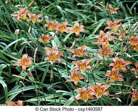 Picture of Day Lily\\\'s Cluster (Hemerocallis fulva) H.