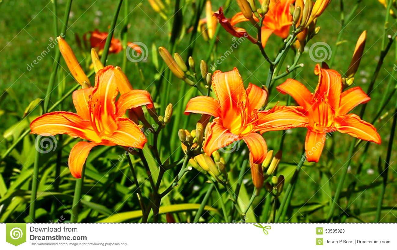Orange Daylily (Hemerocallis Fulva) Stock Video.