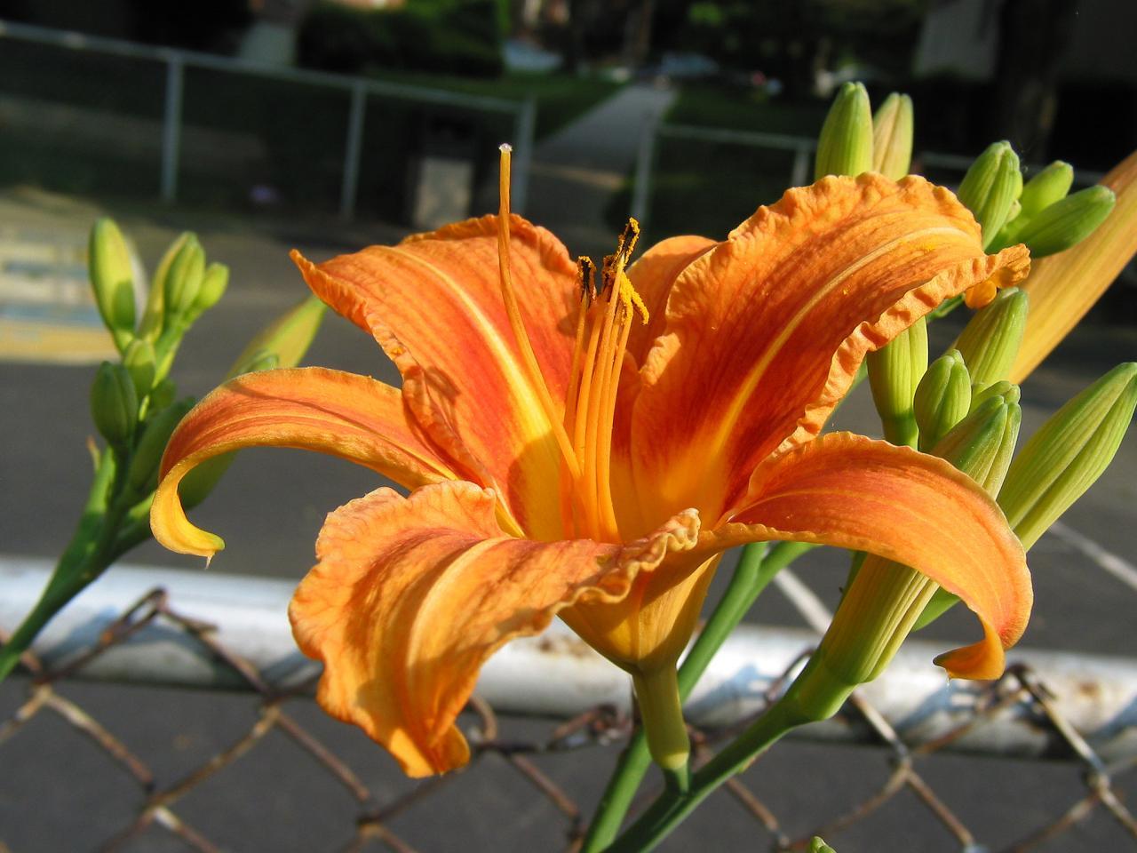flower daylily.