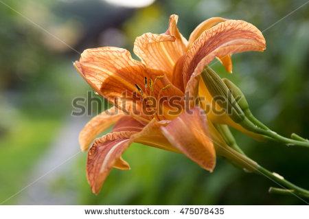 Hemerocallis Fulva Stock Photos, Royalty.