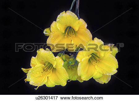 Picture of botanical, persnickety, york, new, hemerocallis.