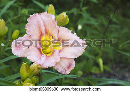 """Stock Photography of """"Salmon, red and yellow hybrid daylily."""