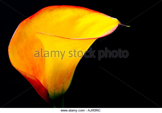 Red Arum Lily Stock Photos & Red Arum Lily Stock Images.