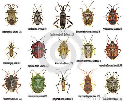 Set Of True Bugs Of Europe Stock Photo.