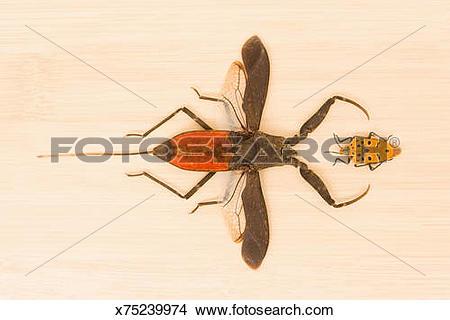 Stock Photo of Water scorpion (Nepa sp.) and Hemiptera x75239974.