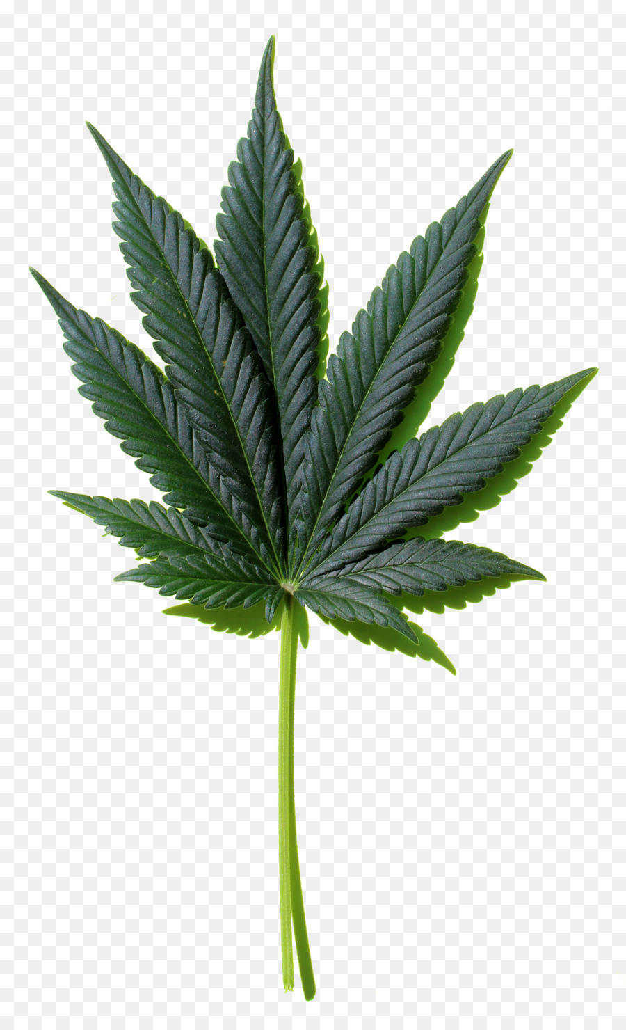 Cannabis Leaf Background png download.