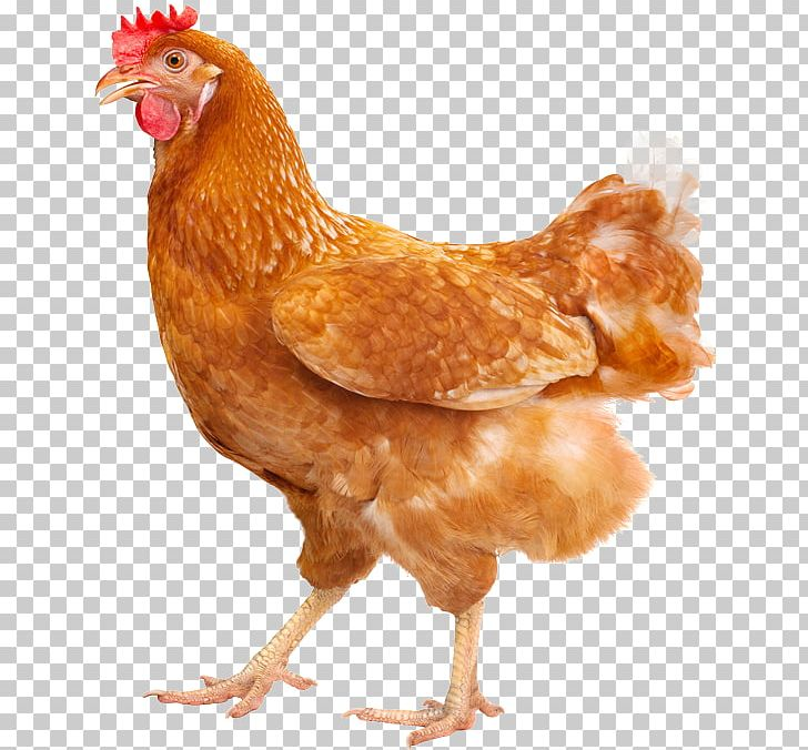 Plymouth Rock Chicken Silkie Hen Poultry Farming Free Range PNG.