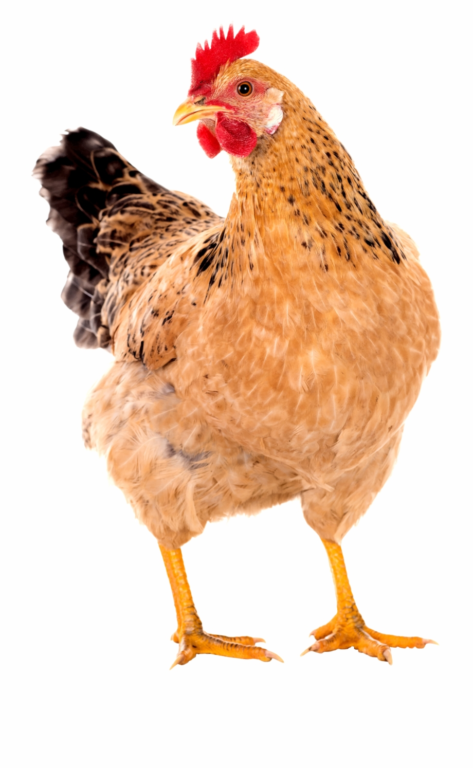 Hen Png Images.
