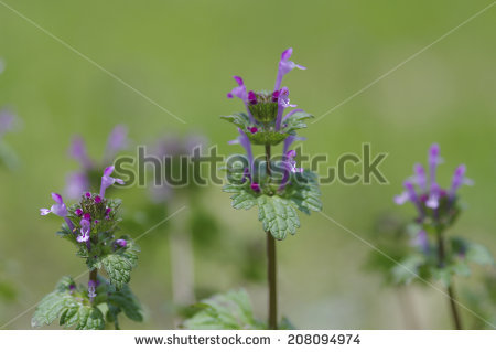 Henbit Stock Photos, Royalty.