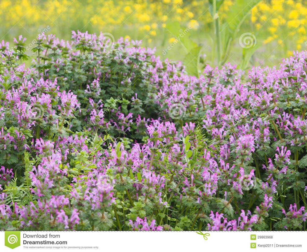 Flowers Of Henbit Royalty Free Stock Photos.