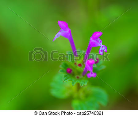 Stock Photo of Flower of Henbit, Lamium amplexicaule csp25746321.
