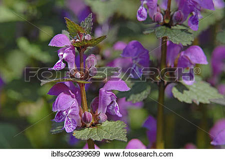 """Stock Photograph of """"Spotted Deadnettle, Spotted Henbit (Lamium."""