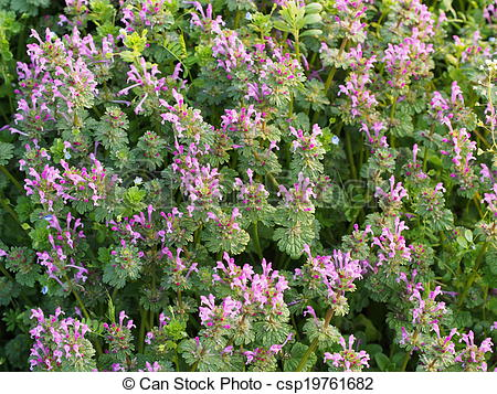 Pictures of flowers of henbit.