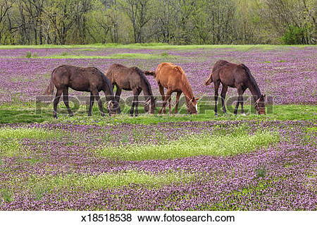 Pictures of Thoroughbred horses in field of henbit flowers.