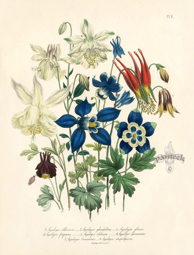 1000+ images about Aquilegia, granny's bonnets & colombine on.