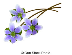 Hepatica Images and Stock Photos. 994 Hepatica photography and.