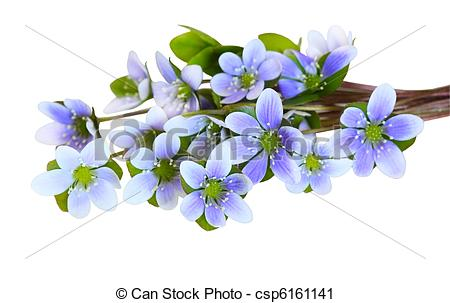 Hepatica Images and Stock Photos. 899 Hepatica photography and.