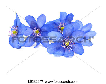 Picture of Hepatica nobilis flowers k9230947.