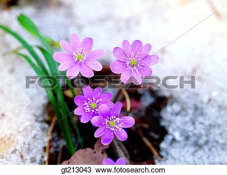 Stock Photo of Hepatica, hepatica, spring, snow, flower, outdoor.