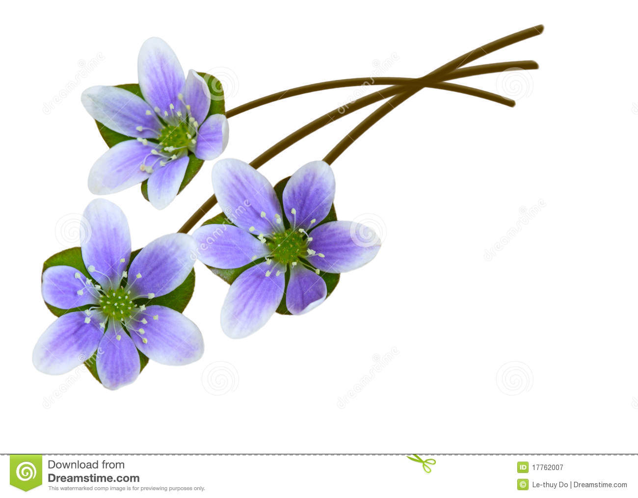 Hepatica Nobilis Royalty Free Stock Photography.