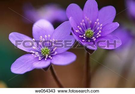 Stock Photo of Liverwort (Hepatica nobilis) we054343.
