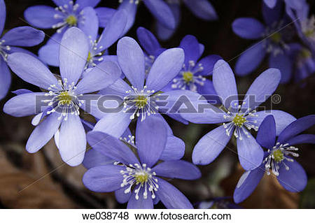 Pictures of Hepatica nobilis. Teuchl, Penk, M÷lltal, Carinthia.