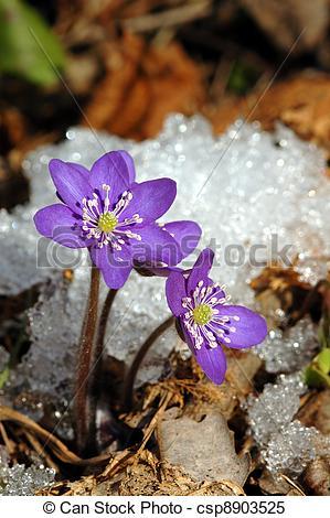 Stock Images of Liverwort, Hepatica nobilis in snow csp8903525.
