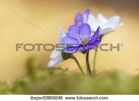 """Stock Images of """"Hepatica, Liverleaf or Liverwort (Hepatica."""