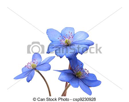 Pictures of Hepatica nobilis flowers on a white background.