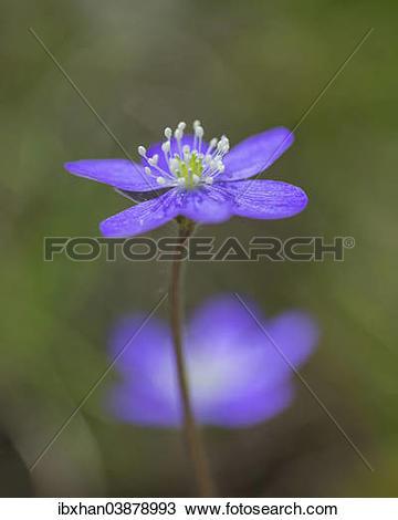 """Stock Photo of """"Hepatica or Liverwort (Hepatica nobilis), Aragon."""