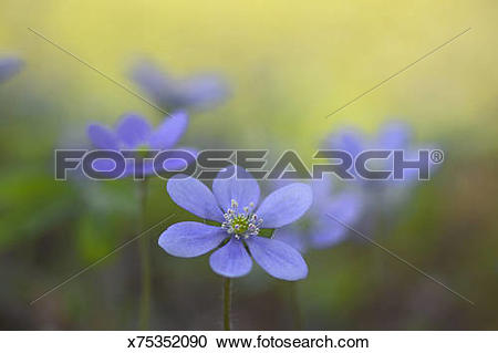 Stock Photography of Liverwort (Hepatica nobilis), close.