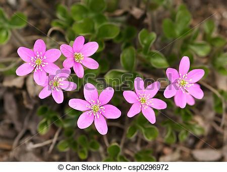 Stock Photo of Hepatica Nobilis.