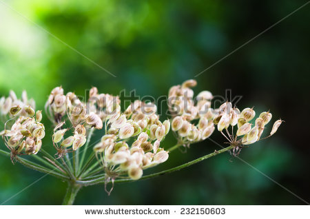"heracleum Sphondylium"" Stock Photos, Royalty."