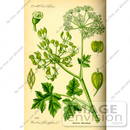 Picture of Common Hogweed (Heracleum sphondylium).