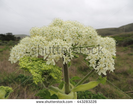 "cow Parsnip"" Stock Photos, Royalty."