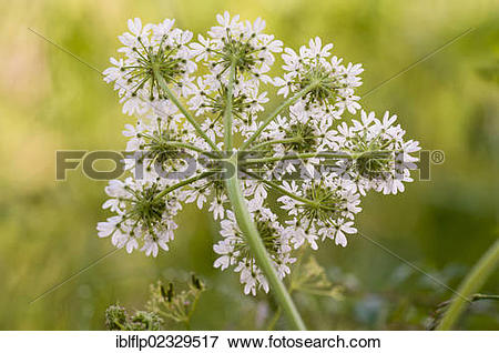 "Picture of ""Hogweed (Heracleum sphondylium) flowering, underside."