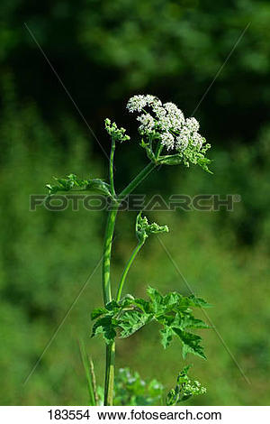 Stock Photo of Common Hogweed (Heracleum sphondylium), flowering.